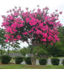 pink velour crape myrtle tree growing tree and fast growing