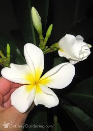 plumeria flower plumeria plant care how to care for a potted plumeria plant