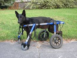 belgian sheepdog available dog wheelchairs and carts for belgian sheepdogs 6 september 2015