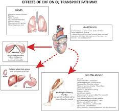 muscle oxygen transport and utilization in heart failure