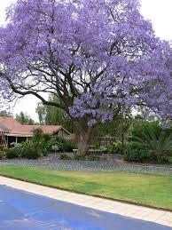 blue jacaranda tree jacaranda tree shrubs trees
