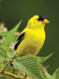 Nc Backyard Birds Wild Birds Unlimited Defy The Doldrums With Goldfinches