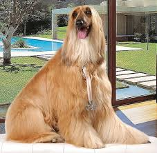 afghan hound therapy dog choosing the right dog the afghan hound infobarrel