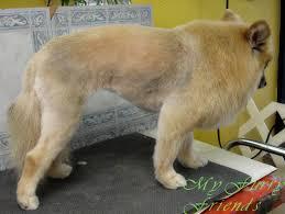 pet grooming good bad u0026 furry grooming pomeranians