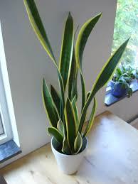 plante de chambre voici 5 plantes à mettre dans votre chambre pour combattre l insomnie