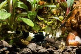 home chicago ornamental shrimp society
