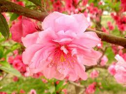 Peach Flowers File Peach Flower Tj2 Jpg Wikimedia Commons