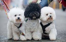 bichon frise 2015 calendar crufts 2014 day three kicks off with beautiful and bizarre display