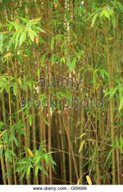 bamboo ornamental grass stock photos bamboo ornamental grass