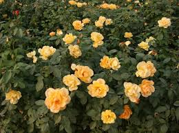 china with roses supplier of floribunda bare roots