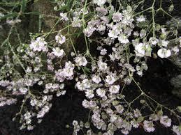 small white flowers 100 small white flowering shrubs lilac tree vs lilac bush