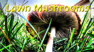get rid of mushrooms in the lawn youtube
