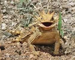 Big Lizard In My Backyard Best 25 Horned Lizard Ideas On Pinterest Lizard Names Reptiles