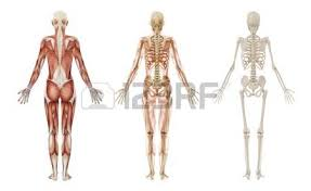 Female Muscles Anatomy Skeletal Muscle Images U0026 Stock Pictures Royalty Free Skeletal