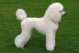 standard poodle hair styles 10 haircuts for poodles