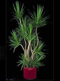house plants low light indoor plant dragon tree grow pinterest plants gardens and