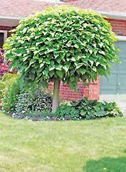 Small Trees For Backyard by 21 Best Small Trees Under 25 U0027 Images On Pinterest Small Trees