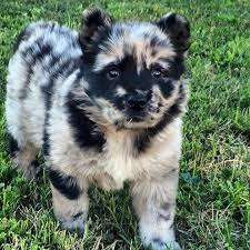 australian shepherd rottweiler mix puppies for sale advanced puppy search u2022 rocky pups puppies for sale in usa