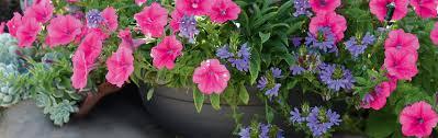 balkon grã npflanzen balkonpflanzen ausputzen wässern das manufactum gartenjahr
