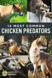 21 best images about chicken care and tips on pinterest the