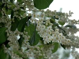 8 best small flowering trees images on