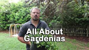 all about gardenias details about different varieties and how to