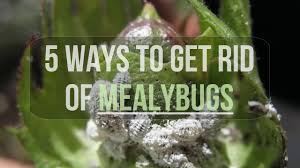 5 ways to get rid of mealybugs youtube