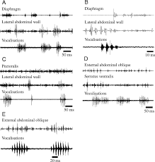 variations in respiratory muscle activity during echolocation when