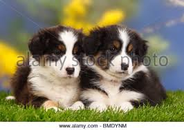 australian shepherd puppies 7 weeks australian shepherds puppies black tri 6 weeks australian