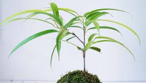 indoor trees with low light requirements indoor plants expert