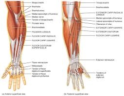 Anatomy And Physiology Of The Back The Muscles Of The Arm And Hand Anatomy Medicine Com