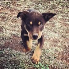 accounting resume exles australian kelpie lab goulburn region nsw dogs puppies gumtree australia free
