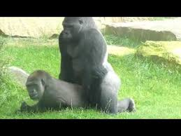 Funny Gorilla Memes - gorillas mating at the zoo so funny mp4 youtube