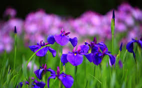 iris the national flower of france