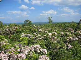 kalmia latifolia kalmia latifolia wikimedia commons