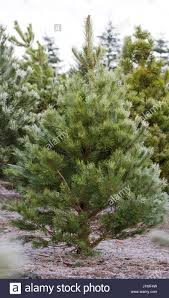 pinus sylvestris christmas tree farm stock photos u0026 pinus