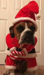 boxer dog howling boxer dog costume boxer costume pinterest