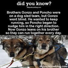 Dog Going Blind What To Do Best 25 Sled Dogs Ideas On Pinterest Juneau Alaska Alaska And