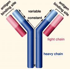 heavy chain light chain introduction to immunology tutorial