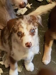 australian shepherd x husky fabulous stunning husky x collie puppies southampton hampshire