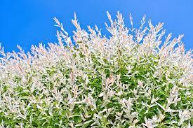 dappled willow worth pruning tasks state by state gardening web