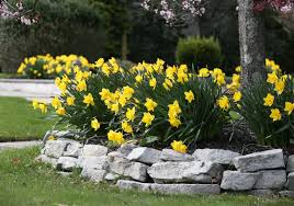 Ideas For Daffodil Varieties Design There U0027s Always Room For Daffodils Longfield Gardens