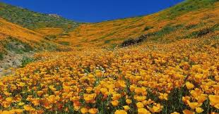 Anza Borrego Wildflowers Super Bloom by 9 Magical Photos Of California U0027s Wildflower Super Bloom Huffpost