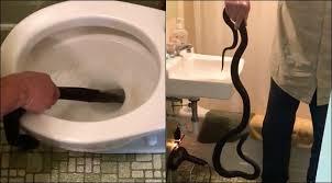 Snake Bathtub Snake Found Slithering In Palmdale Family U0027s Bathtub May Have