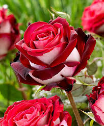 Rose Flower Images The 79 Best Images About Osiria Roses On Pinterest Gardens A