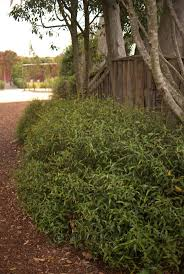 australian native screening plants correa baeuerlenii australian native plants pinterest