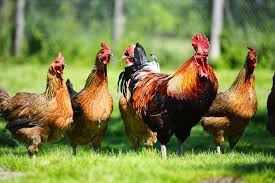 laying hens for sale that you might not want to buy talking hens