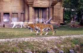 miami zoo tiger the best tiger 2017