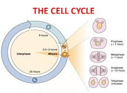 Mitosis And The Cell Cycle Worksheet Mbbs Medicine Humanity Cell Division