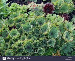 Succulent Rock Garden by Rock Garden With Succulents Suculentus Stock Photo Royalty Free